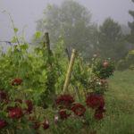 Toscana: quando ver girassóis, papoulas, colheita de azeitonas e uvas