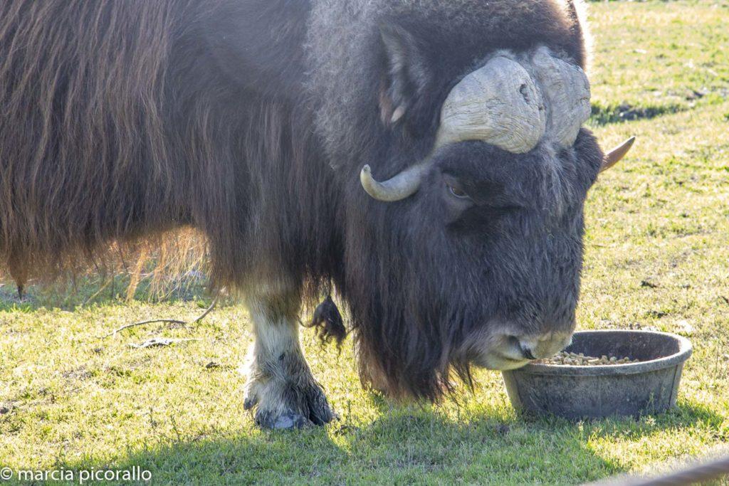 Animais selvagens no Alasca